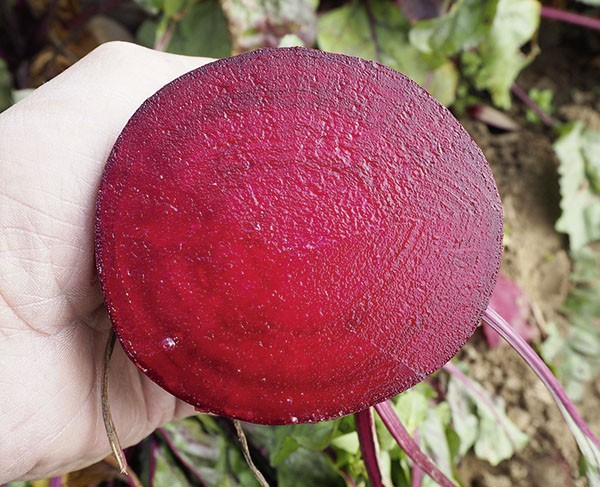 Rote Rübe Red Atlas (rund)