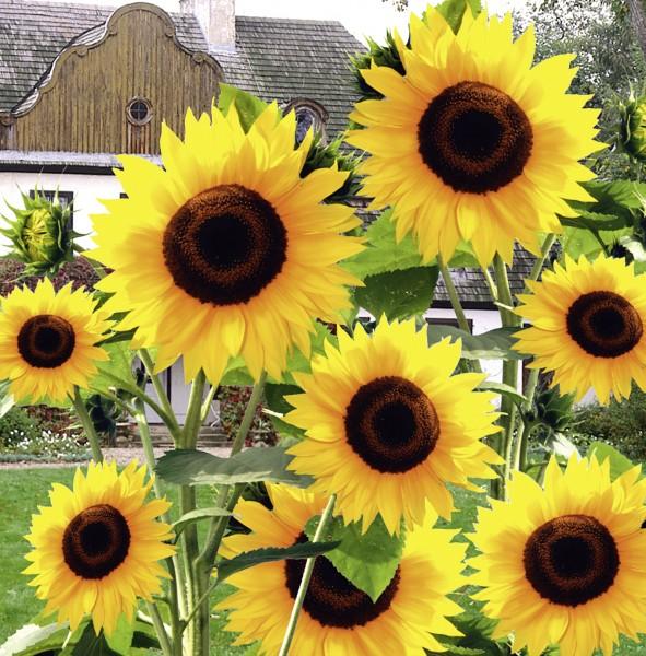Sonnenblume Hohe Riesen