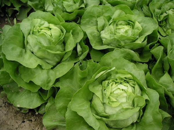 Kopfsalat Jolito (Saatpillen)