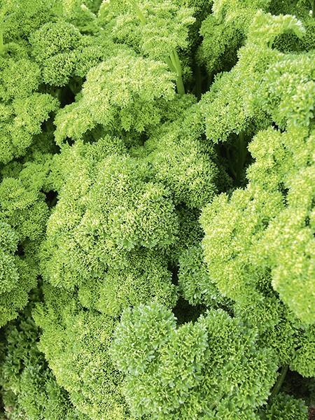 Petersilie Grüne Perle (Biosaatgut)
