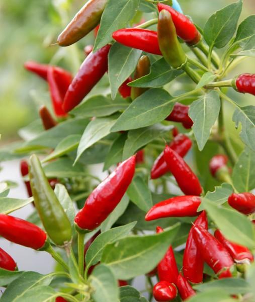 Freiland Chili Rotes Teufele