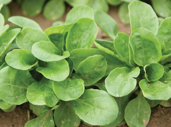 Feldsalat Vit (Biosaatgut)