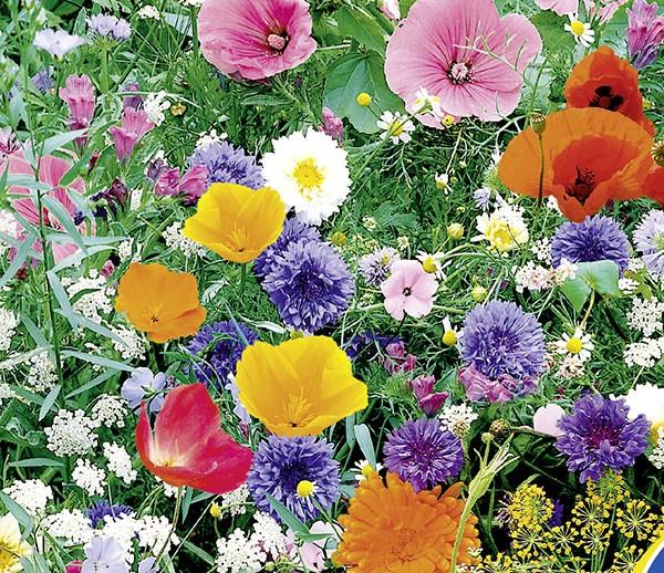 Wildblumen mit Kräutern, 1-jährige Mischung