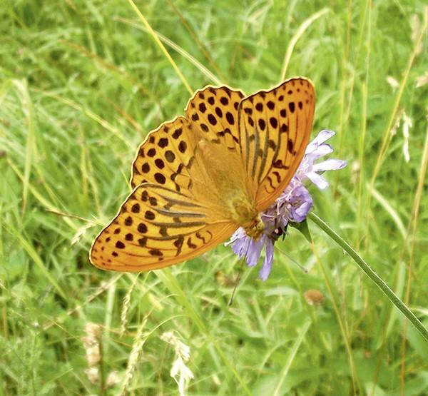 Schmetterlingswiese, ein- und mehrjährige Mischung