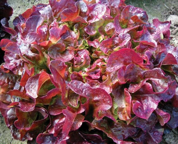 3 Laus resistente Salate
