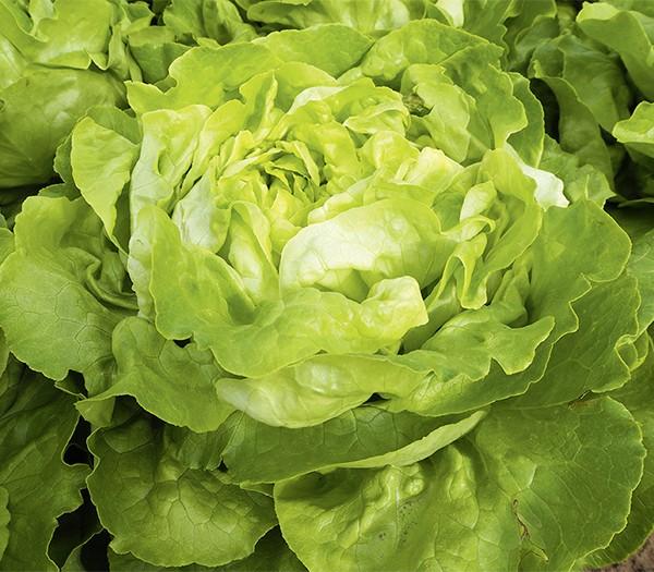 Kopfsalat Sylvesta (Bio Saatgut)