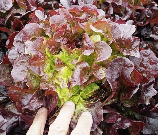 Salanova Xandra (S.pillen)