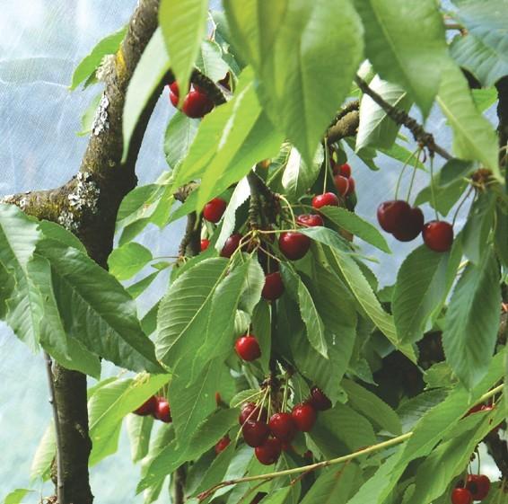 Kirschbaumnetz (Maschenweite: 0,8mm x 0,8mm)