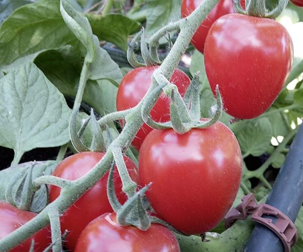 Erdbeer Tomate F1