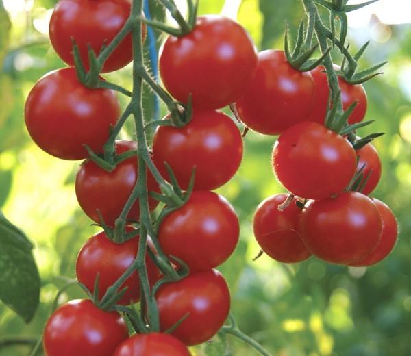 Cherry T. Gardeners Delight