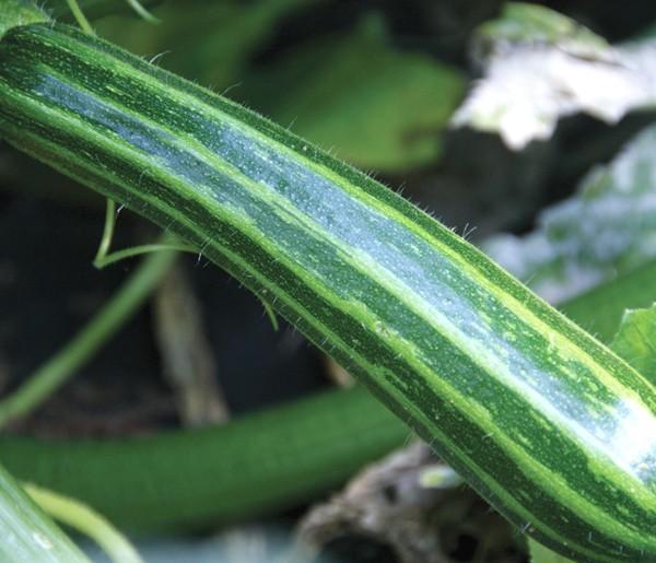 Zucchini Green Tiger F1